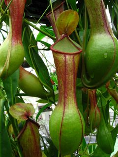 Pitcher_Plant_SF_Conservatory