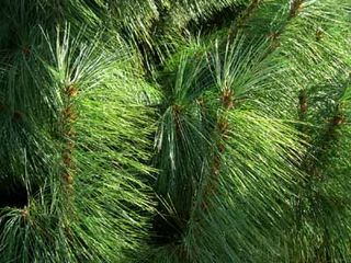 Western-yellow-pine-tree-1